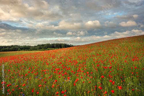 Staande foto Beige Poppy field, Spring landscape