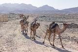 Camel Caravan Carrying Salt in Afar Ethiopia