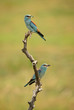 Pair of European Rollers on the branch