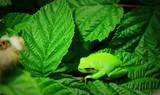 grenouille verte arboricole dans le jardin