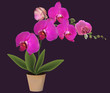 purple large orchid in pot isolated on black