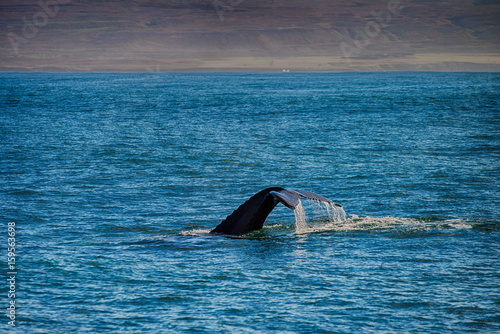 Poster Tail of a whale in Husavik, Iceland