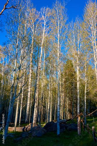 Birch forest, nature - California, USA