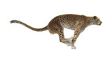 3D Rendering Cheetah on White - 159619849