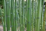 Bambous verts au jardin au printemps