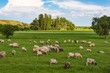Herd of sheep on pasture