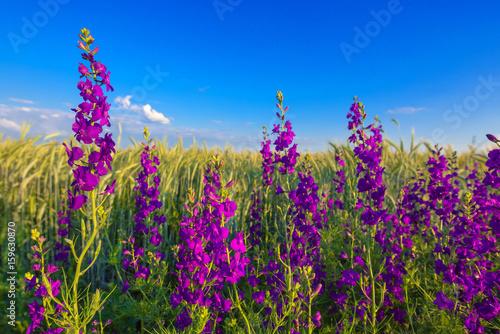 Purple flowers in wheat field