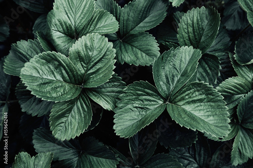 Foto op Canvas Natuur Creative layout with dark strawberry leaves, flat lay. Green nature concept