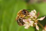 Biene Klee Blüte Nahaufnahme