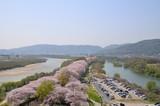 京都 背割堤の桜並木