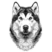 Dog Breed Alaskan Malamute Head Symmetry Looks Right Sketch  Graphics Black And  Drawing Sticker