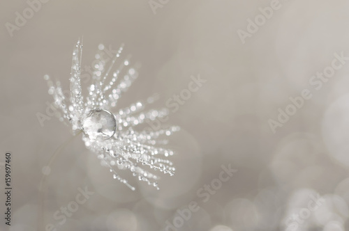 Seed of a dandelion with water drops on a background with a bokeh. Artistic macro with a dandelion of white color. - 159697460