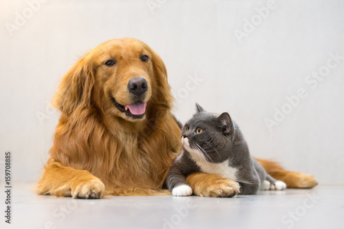 British shorthair cats and Golden Retriever | Buy Photos | AP Images