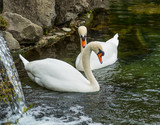 A couple of swans