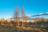 Young birches at spring sunset