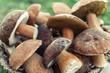Boletus mushrooms. Selective focus