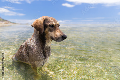 dogs in sea or indian ocean water on seychelles Poster