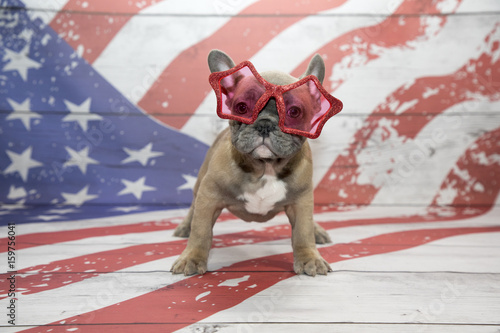 French Bulldog on American flag background