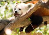Red Panda Wild Animal Resting on Tree Limb