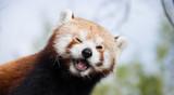 Panda Rojo Guiñando un Ojo