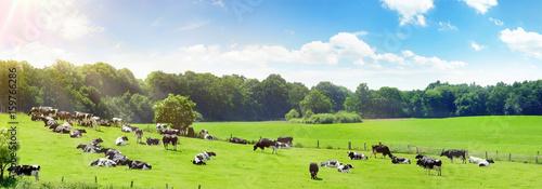 Kühe auf der Weide im Sommer - 159766286