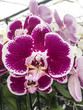 Orchid flower. Moth or Phalaenopsis orchid, beautiful colorful background.