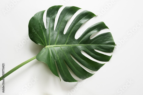 Single leaf of Monstera plant on white background. Close up, isolated with copy space. - 159776421