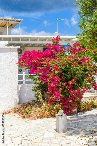 Beautiful summer flowers and Greek traditional architecture in Pollonia town. Milos, Cyclades Island, Greece.