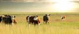 Calves on the field - 159782239