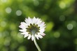 daisy flower chamomile with defocused garden background and copy space