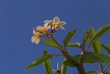 blossom of plumeria tree over blue sky