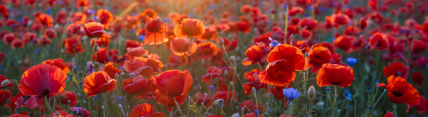 Poppy meadow in the light of the setting sun, poppy and cornflower