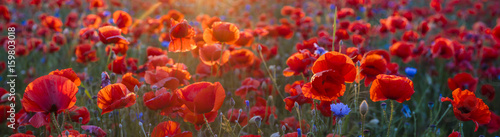 Fotobehang Klaprozen Poppy meadow in the light of the setting sun, poppy and cornflower