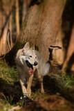 Wolf on hunt