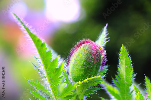 The buds of the poppy on green background Poster