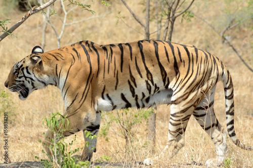The Bengal tiger (Panthera tigris tigris)