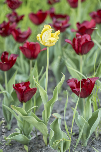 One yellow tulip (tulipa) among the red grows in a flowerbed on a summer evening.