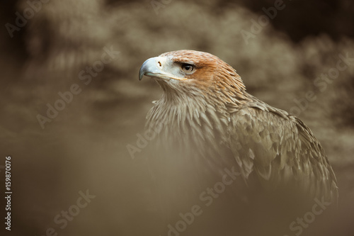 aigle impérial oiseau rapace bec crochu plume animal voler redoutable proie