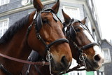 Close up of brown horses pulling a carriage