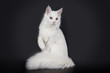 White Maine Coon on a black background