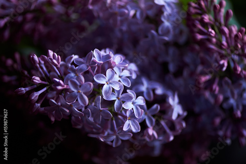 Branch of lilac on a dark background.Background, close. Purple Plakat