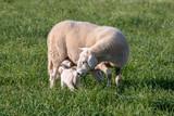 Ewe nursing her lamb in a grassy field. - 159894682