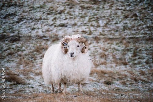 Adorable little Icelandic fluffy sheep roaming in the wild - 159899009