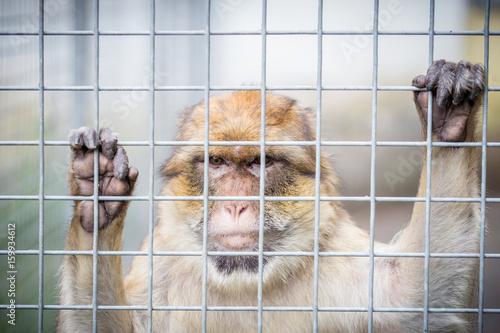 Fotobehang Aap Berberaffe in Gefangenschaft