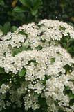 Cespuglio di Pyracantha con fiori bianchi - 159944876