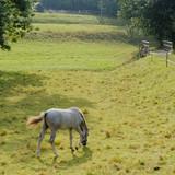 light grey horse on green grass