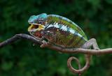 Chameleon Furcifer pardalis Antalaha angry male panther chameleon
