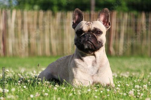 Foto op Plexiglas Franse bulldog Französische Bulldogge liegt im Garten