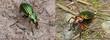 Gegenüberstellung Goldlaufkäfer (Carabus auratus) mit Goldglänzendem Laufkäfer (Carabus auronitens)