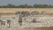 Plains zebras (Equus burchelli) walking in a row to a waterhole, Etosha National Park, Namibia